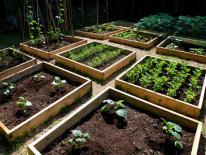 Growing vegetables in neighborhood garden plots